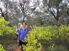 Walking through flowering  Acacia Myrtifolia