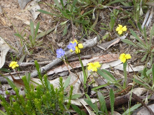 Bent Goodenia and Blue Squills