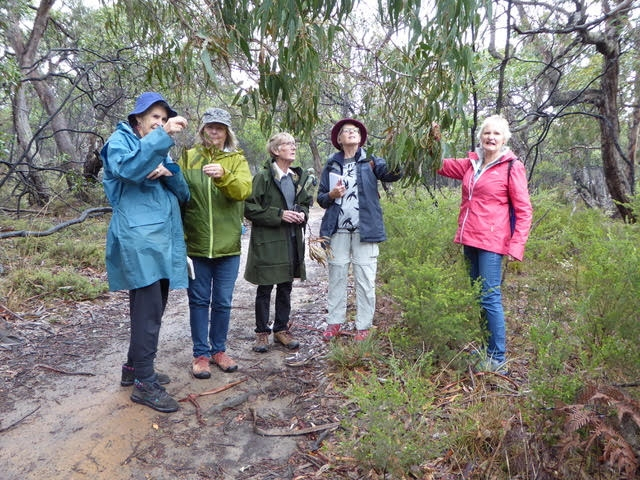 Identifying Anglesea Grey-gum