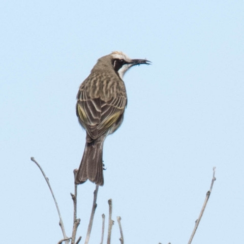 Tawny-crowned Honeyeater