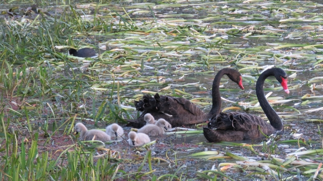 Cygnets at Allen Noble