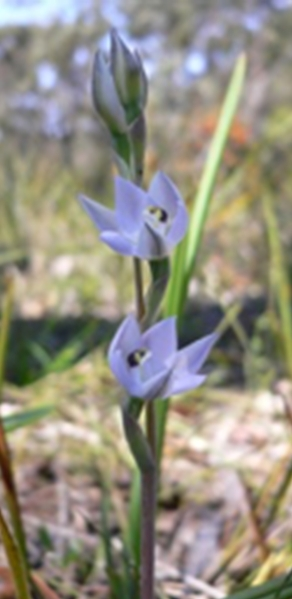 Pale-flowered Sun Orchid