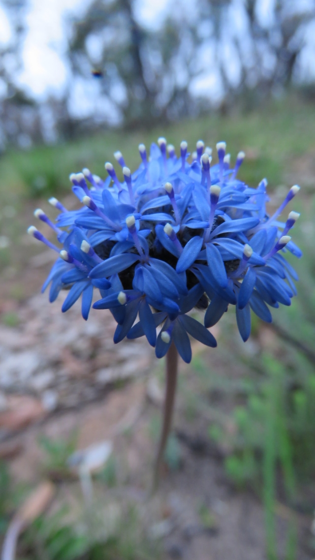 blue pincushion