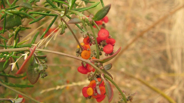 nodding saltbush