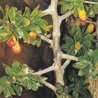 African Box-thorn