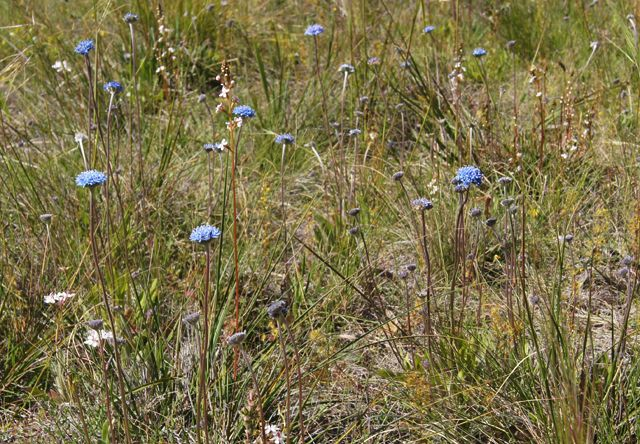 Blue pincushions and pink trigger plants