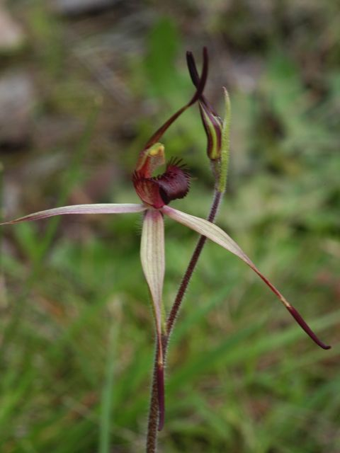 Southern Spider Orchid